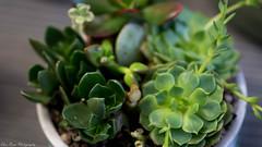 Cactus and Succulent Macro (kuntheaprum) Tags: cactus succulent macro flower plant nikon d750 sigma 50mm f14