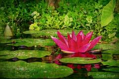 Water Lilly (socalgal_64) Tags: carolynlandi waterlilly pond usa nature california socal sanjuancapistrano ngc npc coth5