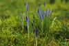 MS Bot Garten 28012018 21 (Dirk Buse) Tags: münster nordrheinwestfalen deutschland deu blüte pflanze krokus natur früh nature germany botanischer garten uni universität rasen grün perspektive