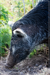 Mom rooting for dinner (photosbylag) Tags: circleb alligators cardinal greenheron hogs piglets