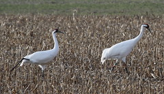 5D2A3182-1 Whooping Cranes (John Pohl2011) Tags: canon 100400mm 100400mmlens eos7dmarkii john pohl bird waterfowl wading