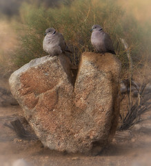Two of Hearts (cindyslater) Tags: grass rock wildlife bird goldenvalleyaz cindyslater heart dove arizona animal