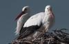 Cigognes blanches / White stork (Cri.84) Tags: cigogne camargue provence ciconia echassier