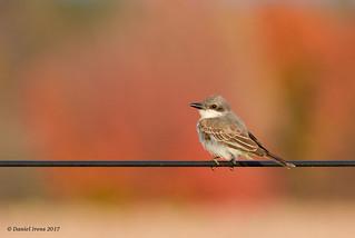 Gray Kingbird (Rare) Queen Anne's, MD. 11/13/17
