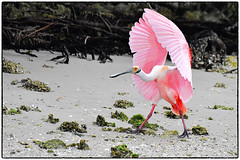 Sticks the landing (RKop) Tags: alafiabnaks florida raphaelkopanphotography d500 nikkor600f4evr tripod wildlife