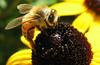 Honey Bee on Rudbeckia (Puzzler4879) Tags: macro rudbeckia honeybee blackeyedsusan beesonflowers honeybeesfeeding beesfeeding lambertvillenewjersey drcanal delawareandraritancanal drcanalstatepark delawareandraritancanalstatepark lambertville hunterdoncountynewjersey a580 canona580 powershota580 powershot canonpowershot canonpowershota580 canonaseries canonpointandshoot canoncameras canon