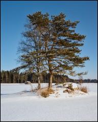 Mommos Pruppo (Jonas Thomén) Tags: field åker snö snow winter vinter tree trees träd stone sten panorama sunshine solsken barn barns lada lador haybarns hölador skog forest woods landscape landskap