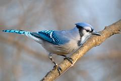 Blue Jay (Brian E Kushner) Tags: bluejay blue jay cyanocittacristata newjersey audubon nikon d850 nikond850 bird birds backyardbirds bkushner backyard wildlife audubonnj animals birdwatcher ©brianekushner afs nikkor 200500mm f56e ed vr nikonafsnikkor200500mmf56eedvr