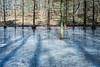 Sumpfzypressen - Taxodium (Rainer ❏) Tags: sumpfzypressen taxodium sumpcypres sumpsypresslekten frühlingslicht springlight frühlingssonne springsunshine eisschmelze thaw tauwetter teich pond licht schatten light shadow rombergpark dortmund ruhrgebiet nrw märz märzsonne color x100f explore rainer❏