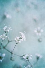 Delicate (borealnz) Tags: gypsophila flower white pale delicate macro
