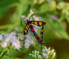Moths (sreejithkallethu) Tags: moths mothsofkerala nature polachira kollam kerala