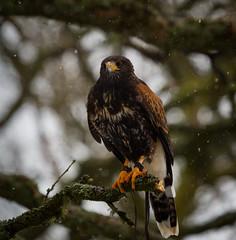 woodland Walk (Mr_Souter) Tags: 2018 gregor woodlandwalk luggiebank harrishawk january scotland cookie sandor worldofwings places oak tawnyowl kookaburra europe uk cumbernauld