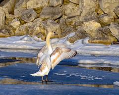 Hear Ye, Hear Ye.... (MoodyGoat) Tags: muteswan ibsp winter il