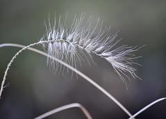 Winter Plant (Rackelh) Tags: plant marco winter nature white bokeh toronto canada zoo