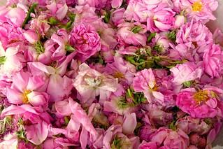 Rosas búlgaras