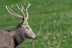 Pere David Deer (geraintparry) Tags: nature geraint parry geraintparry wildlife close closeup sigma sigma150600 150600 150600mm d500 nikond500 pere david deer margam park neath port talbot animal fa