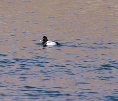 Lesser Scaup/ Ketring Park (eddyandtroymike@yahoo.com) Tags: colorado diving ducks