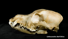 Canis lupus familiaris_DSC0769 (achrntatrps) Tags: crânes skulls bones os animals nikkor d800 pce45mmf28 alexandredellolivo suisse lachauxdefonds lycéeblaisecendrars collection sb900 sb800 achrntatrps achrnt atrps photographe photographer flash chien dog clebs hund perro canidae canidé canids canislupusfamiliaris