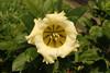 Solandra grandiflora (Cup of Gold Vine) - Singapore (Nick Dean1) Tags: flora plantae plant flower wildflower pasirrispark singapore solandragrandiflora cupofgoldvine