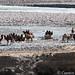 Camels of Karakorum