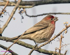 House Finch. (rumerbob) Tags: housefinch songbird bird birdwatching birdwatcher avian wildlife wildlifephotographer wildlifewatcher nature naturewatcher naturephotography peacevalleypark lakegalena canon7dmarkii canon100400mmlens