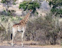 Giraffe with Ox Peckers (mayekarulhas) Tags: giraffes oxpecker krugernationalpark wildlife wild canon canon500mm animal southafrica safari africa giraffe tree grass forest field