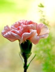 Elegance (barbara_donders) Tags: flower bloem nature natuur bokeh pink roze romance romantisch prachtig mooi beauty beautifull magical lente spring