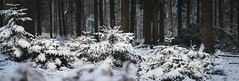 Winterwonderland (shetanchan) Tags: 50mmzuiko 50mm forestbeauty wald winterwald zuiko50mm18 zuiko50mmf18 forest winter snow analog analoglens sonya6000 forestlove forestview tree trees firtrees fir