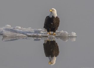 Bald Eagle..cold feet
