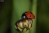 Ladybird (George Nanos) Tags: ladybird rhodes greece insects sigma105mm macro macrodreams