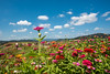 SYS_6613 (Daegeon Shin) Tags: nikon d750 nikkor afs20mmf18g 20mmf18 flower flor campo field sky cielo cloud nube zinniaelegans dof 니콘 니콘렌즈 꽃 백일홍 꽃밭 하늘 구름 경남 corea korea haman 함안
