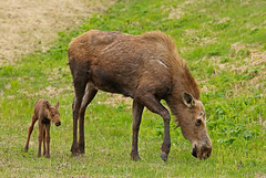 Cow Moose With Hours Old Calf (AlaskaFreezeFrame) Tags: moose canon alaska alaskafreezeframe anchorage nature outdoors wildlife 70200mm mammals herbivore animals trees plants dangerous telephoto spring summer newborn calf babymoose feeding grazing mother cowmoose cowcalf