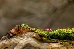 Moos-Pflaenzchen / Moss plant (ku.keser) Tags: blume braun brown closeup flower green gruen moos moss nahaufnahme red rot oberwesel rheinlandpfalz deutschland de