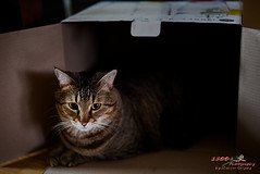 Oscar and the Box (1300 Photography) Tags: nikon affinity d750 50mm kitty cat feline pets pet petportrait