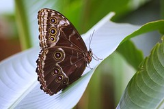 Blue Morpho Butterfly (erica-kalmeta) Tags: animal wild animaladdiction animalplanet butterfly forest costa rica latin america vacation small leaf summer wings insect bug blue morpho