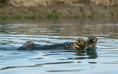 Family (Lisa Ouellette) Tags: monterey otter shotfromakayak seaotter family babyotter elkhornslough swimming