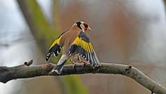 der Sieger   3 (karinrogmann) Tags: distelfink goldfinch cardellino