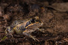 Northern Pobblebonk (R. Francis) Tags: ryanfrancis ryanfrancisphotography nsw newsouthwales nswnorthcoast northernrivers whiporie limnodynastesterraereginae northernbanjofrog northernpobblebonk