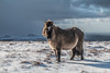 Winter on the Moor (gillyd.d) Tags: winter snow dartmoor pony leadon skies north hessory tor