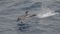 Striped Dolphin (Stenella coeruleoalba) in the Bay of Biscay (mosesharold) Tags: 1y3a69711 dolphins bayofbiscay atlanticocean