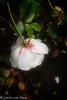 Rose in Rain (lorinleecary) Tags: californiacentralcoast flowers sanluisobispo green leaves pink rose shadow waterdrops white