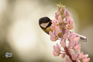 great tit is hanging on lupine