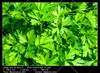 Parsley (__Viledevil__) Tags: leaf agriculture bunch cilantro cooking cultivation food fresh green growing healthy heap herb ingredient nature organic parsley plant raw root seasoning vegetable