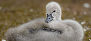 Baby black swan resting on the grass