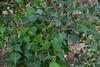 Erythrina numerosa (dustaway) Tags: fabaceae faboideae erythrinanumerosa pinemountaincoraltree leaves stems arfp qrfp nswrfp dryarf vinethicketarf richmondrange richmondrangenationalpark clarencevalley northernrivers nature nsw australia leaf