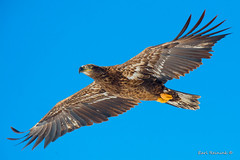 Bald eagle - blue sky (Earl Reinink) Tags: bird birds wildlife animal outside winter light predator flight flying earl reinink earlreinink nikon eagle baldeagle blue sky oteddaadza