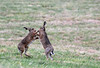 January Boxing Hares! (RiverCrouchWalker) Tags: hares boxing januaryboxinghares rhs rhshydehall rettendon essex january winter 2017 brownhare lepuseuropaeus animal