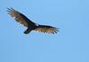 Turkey Vulture (vischerferry) Tags: vulture turkeyvulture birdinflight cathartesaura