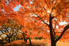 小石川植物園 02 (sunuq) Tags: tokyo japan 日本 東京 canon eos 5dsr tse24mm llens 紅葉 小石川植物園 tree park