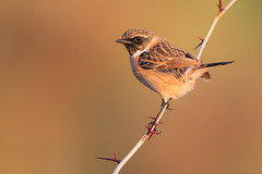 stonechat (leonardo manetti) Tags: uccello bird nature sunset red winter colours naturephotography field natural nikkor countryside